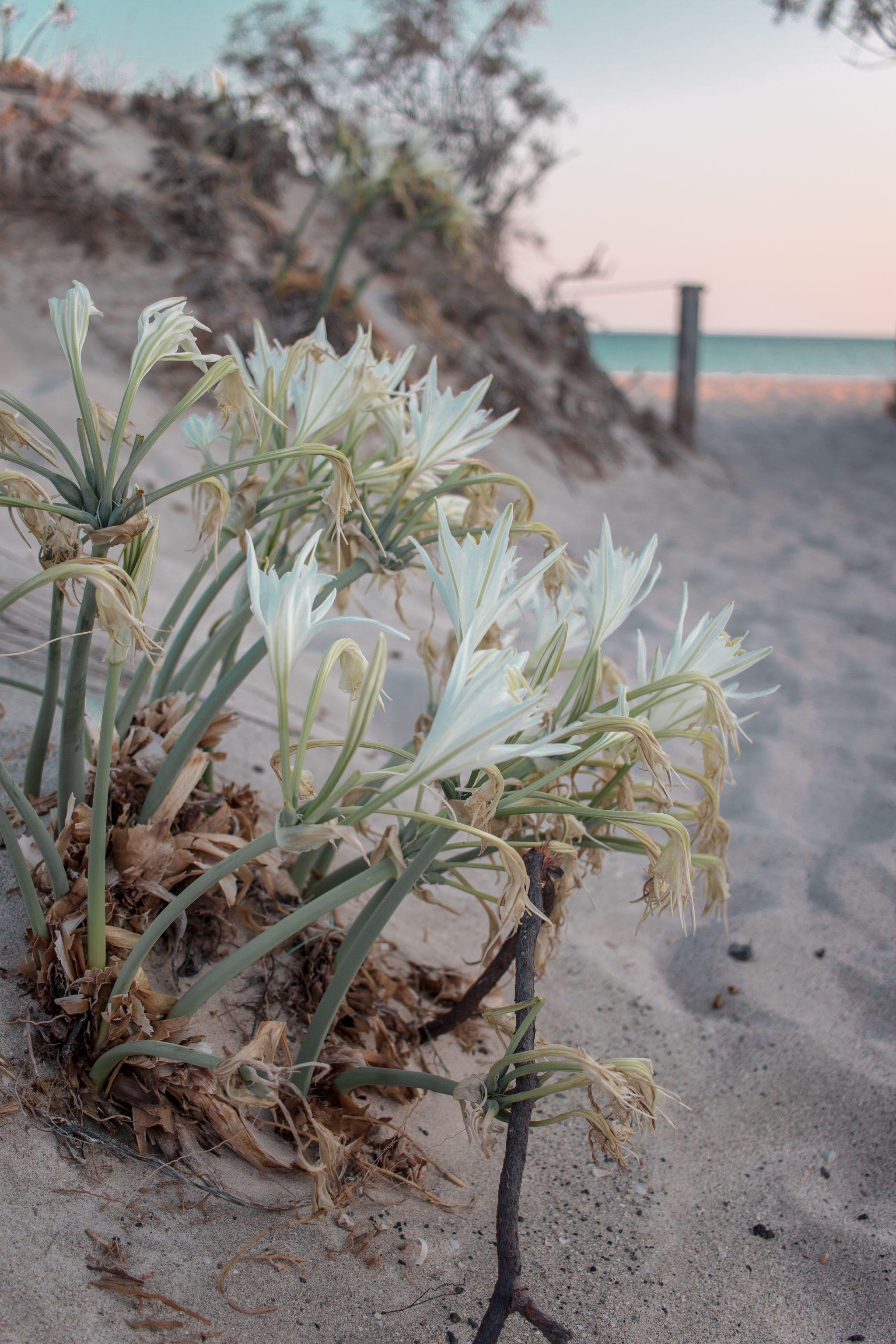 Crete Travel Guide Elafonisi Beach flowers